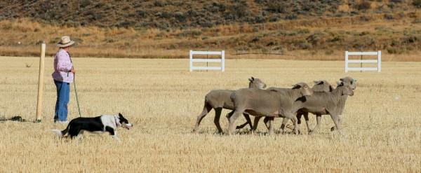 Sheep dog trials - herd em out. Credit Carol Waller 2012