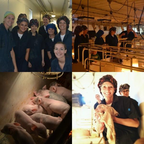 pigs - pass the pork ww.climbingriermountain.com