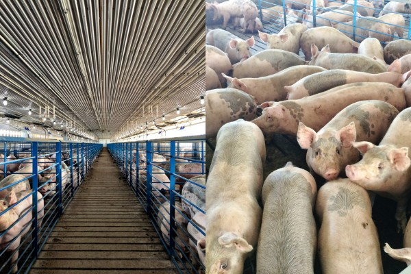 pork industry in iowa - pass the pork www.climbinggriermountain.com
